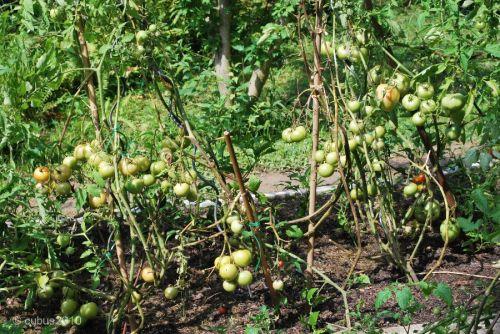 Tomaten01