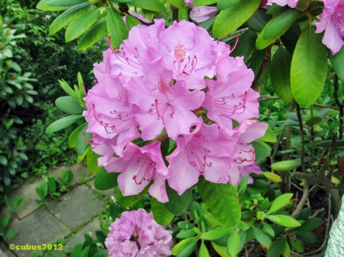 Rhodendron02