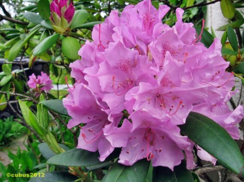 Rhodendron03